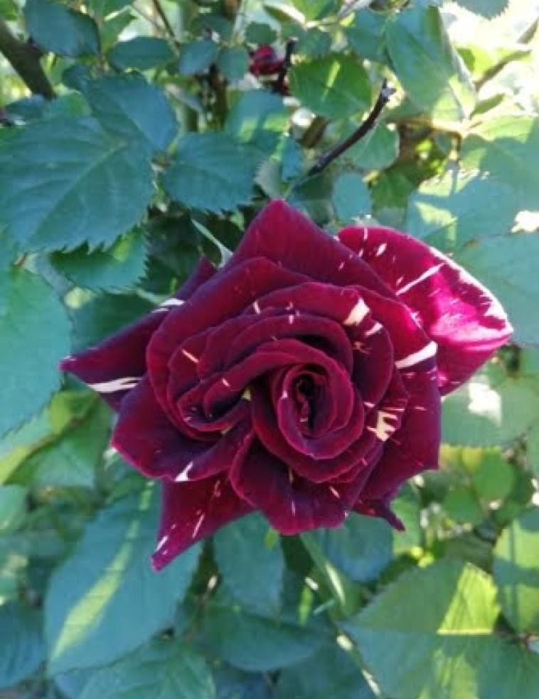 Dark maroon rose flower