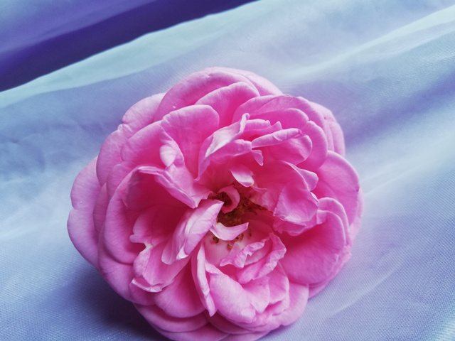 most beautiful pink roses in the world
