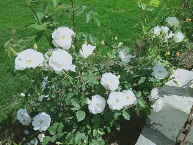 most beautiful white roses in the world pictures