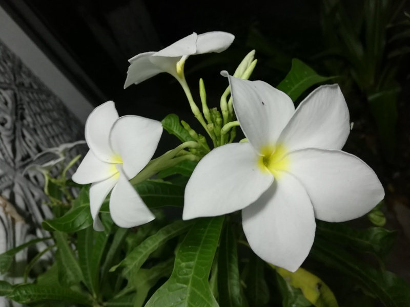 white garden flowers, small white flowers with yellow center