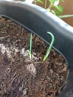 Alho crescido e plantado