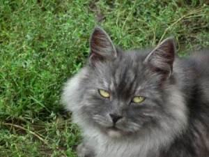 gato adulto 1