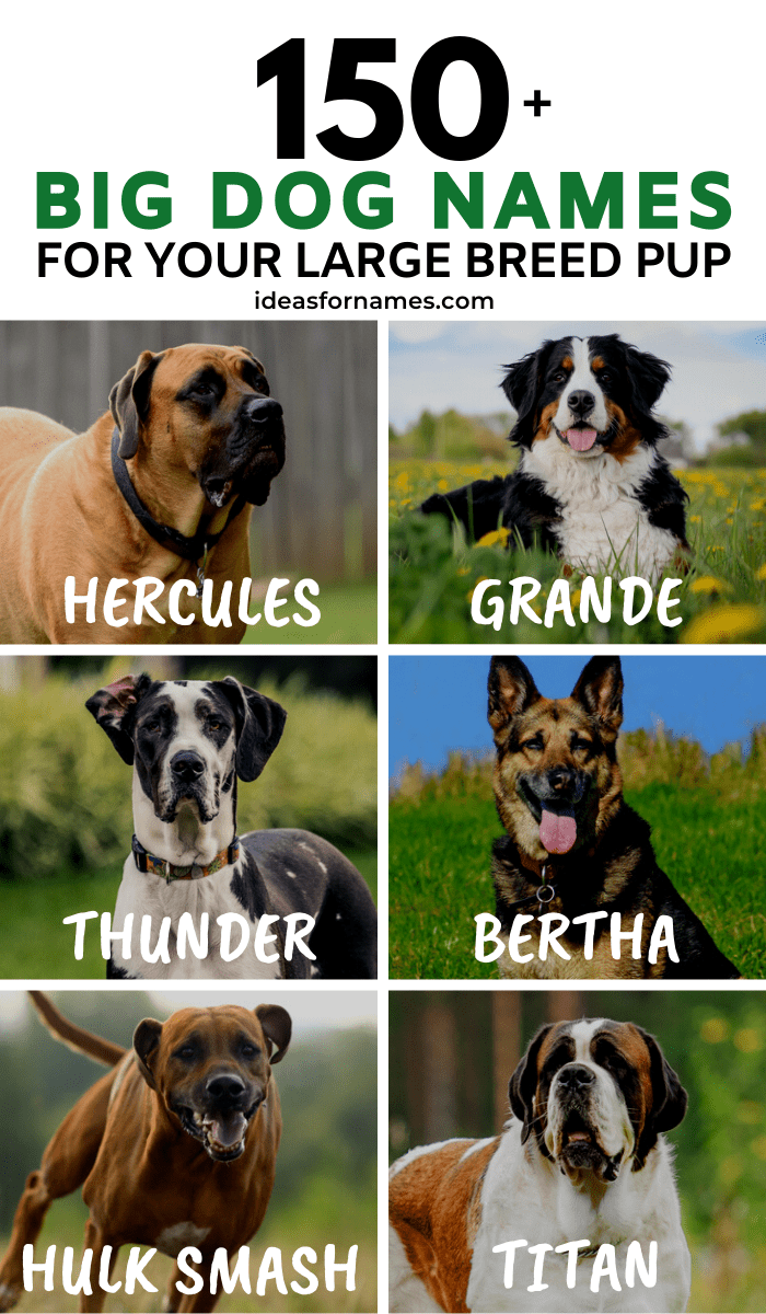 Big Dog Names For Your Lovable Large Breed Pup, unique name ideas for large male and female dogs #dognames #ilovemydog #doglover #ilovedogs #ilovebigdogs #newpuppy