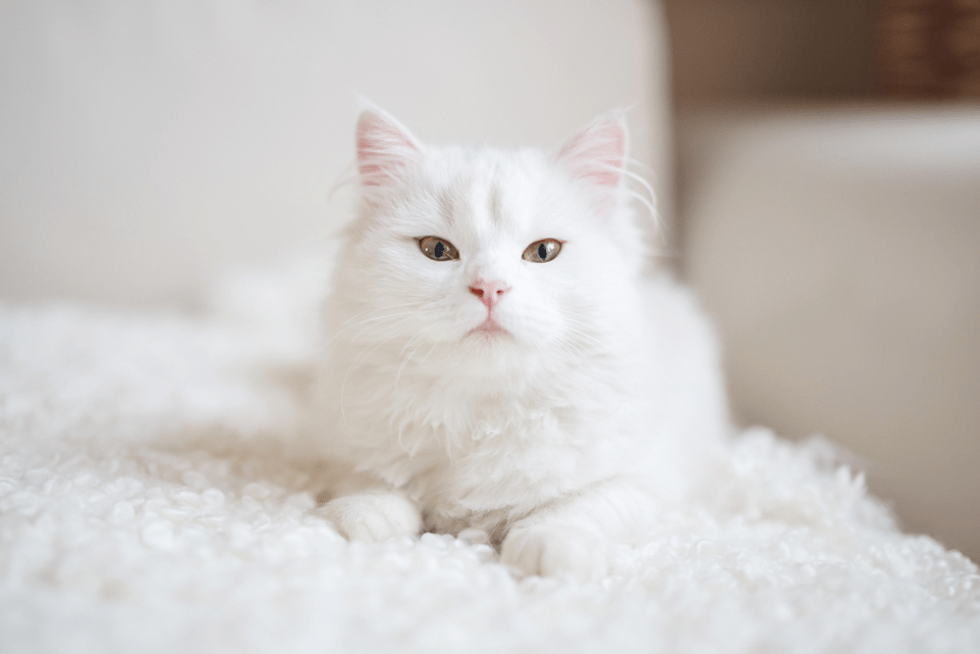 150 Wonderful Names For White Cats And Kittens