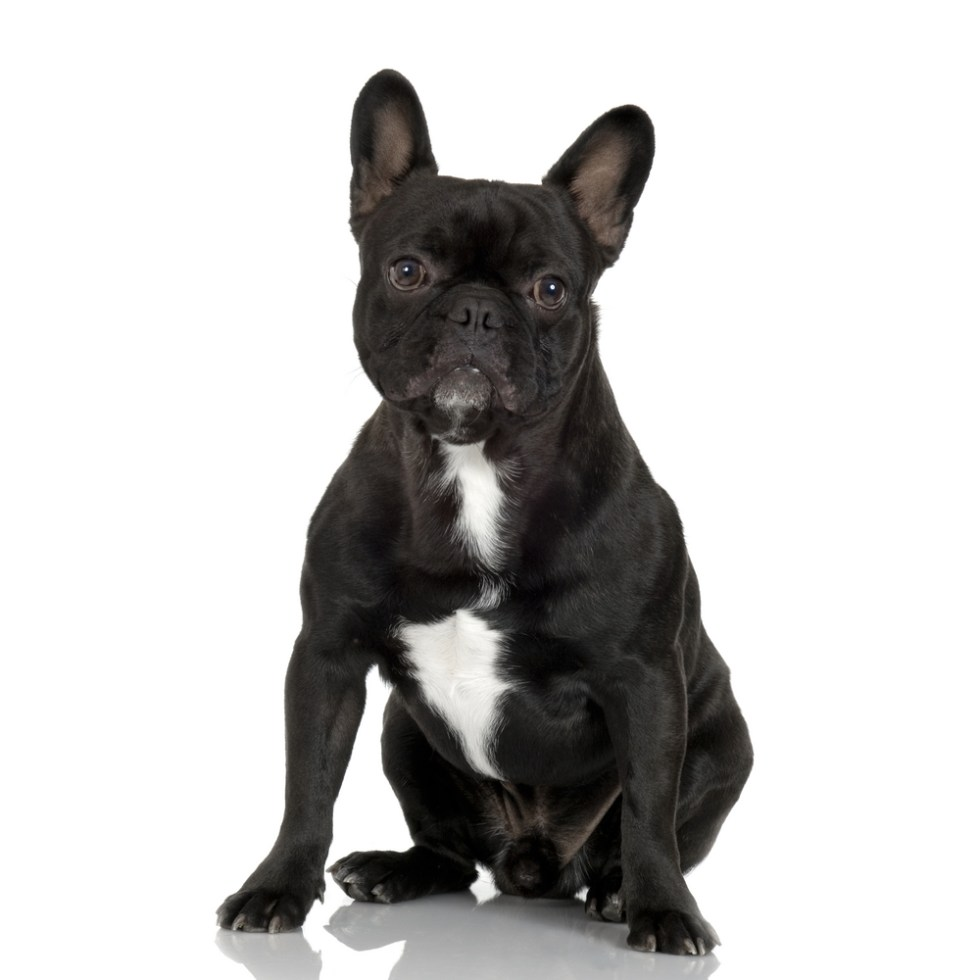 Best Black And White Dog Names For Your Two Tone Pup, french bull dog