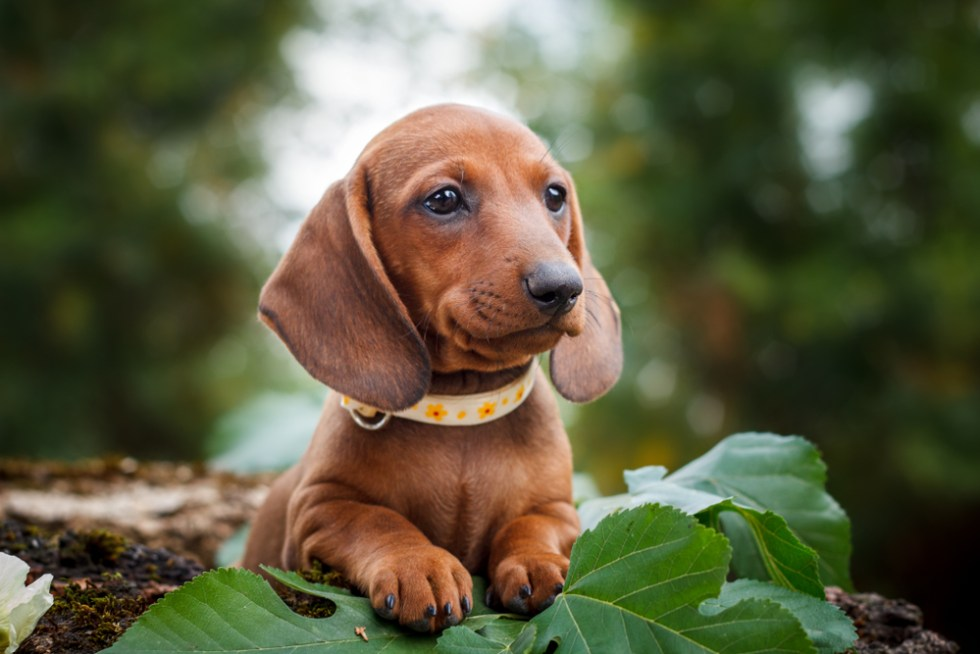 brown dog name dachshund