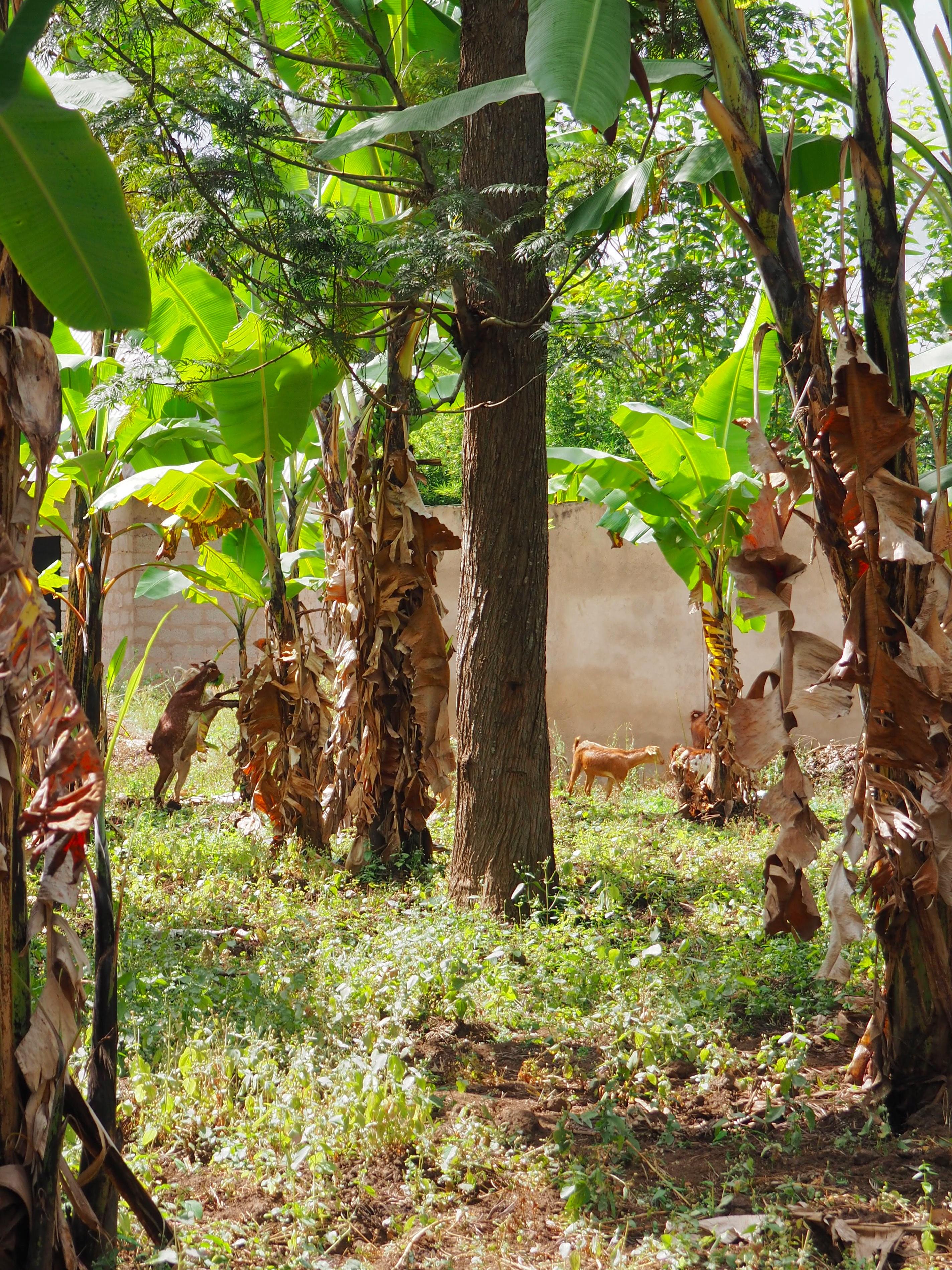 Some neighborhood goats grazing on banana trees