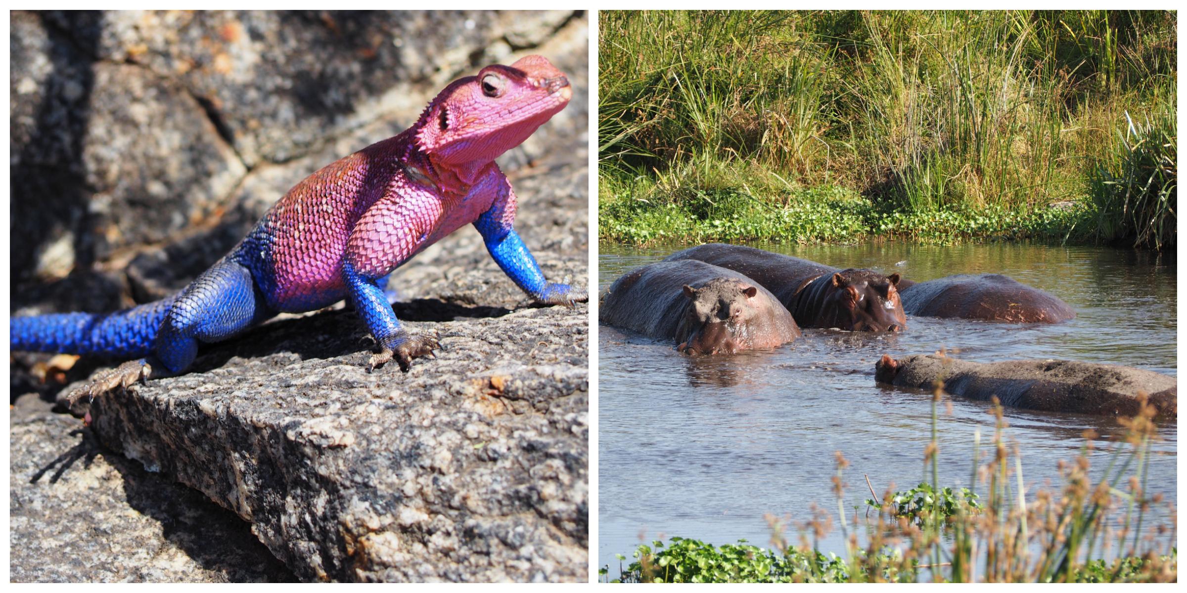 Rock Agama | Hippopotamus