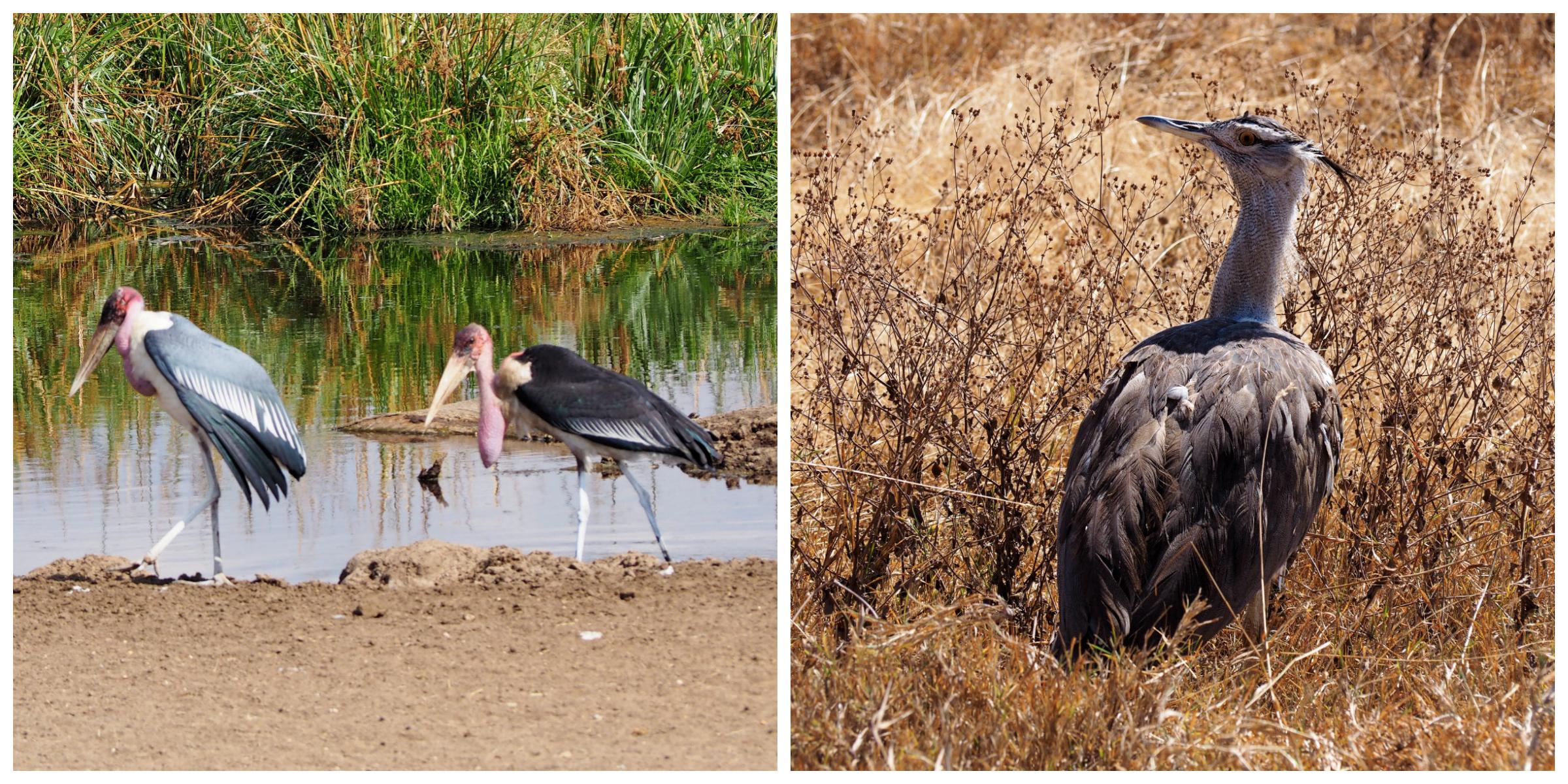 Maribou stork |