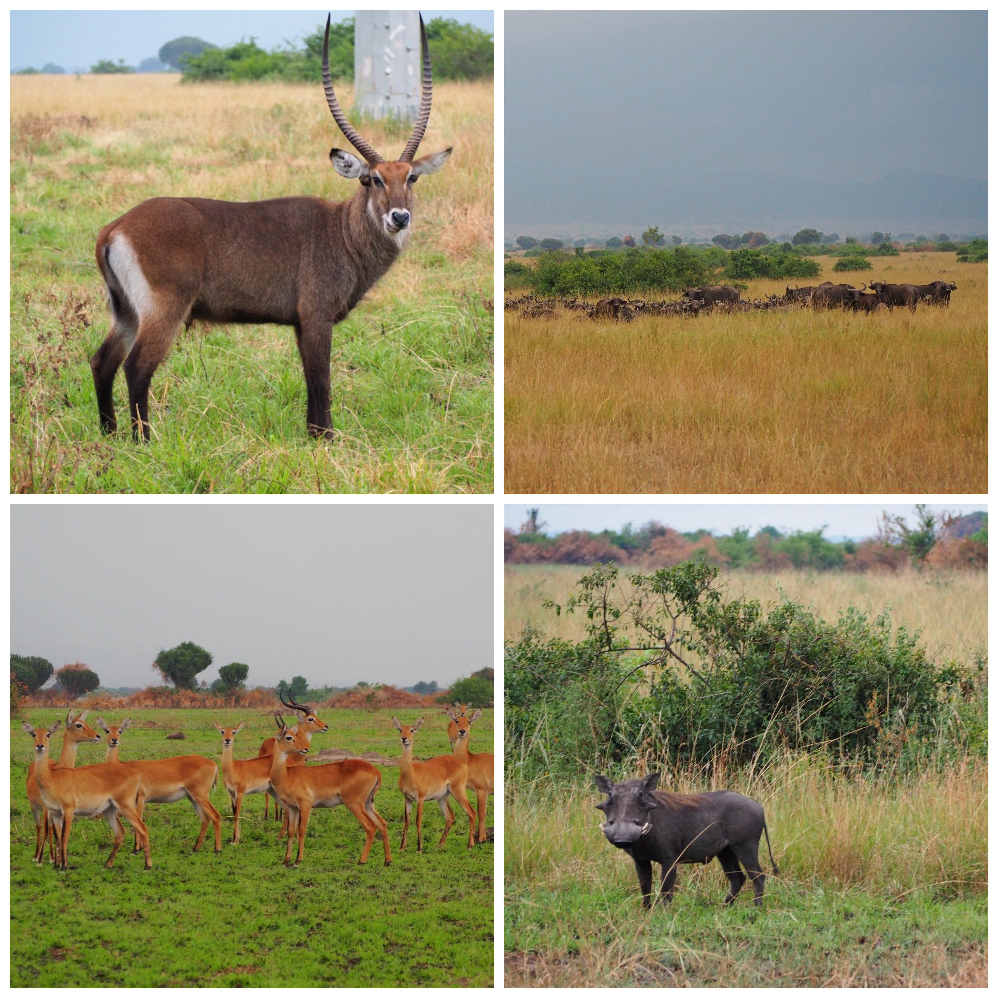 Animal sightings before the rain: waterbuck, cap buffalo, kob, and warthog