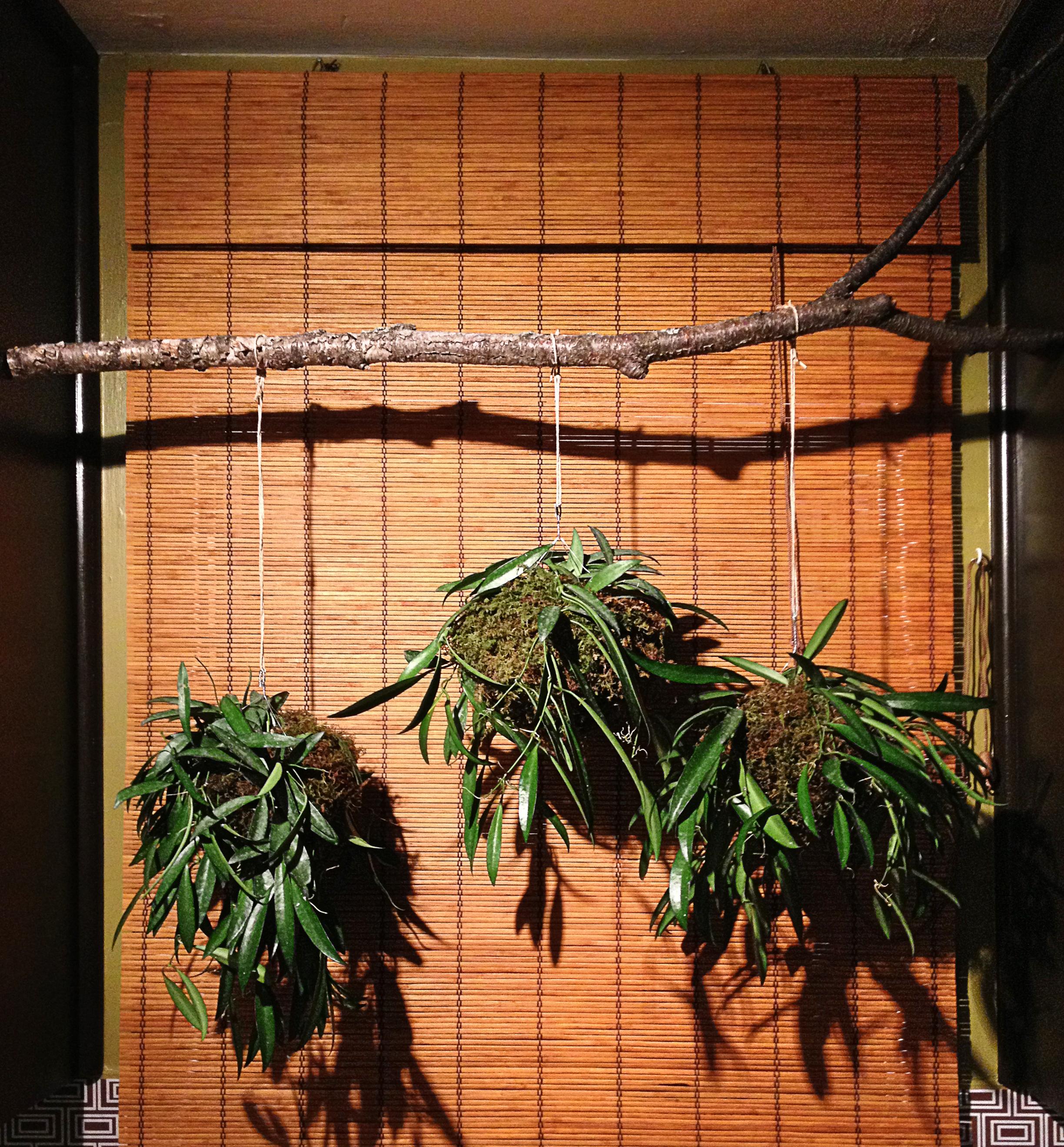 Kokedama Style Hanging Plant Balls   Ideas Realized on Plant Hanging Ideas  id=65128
