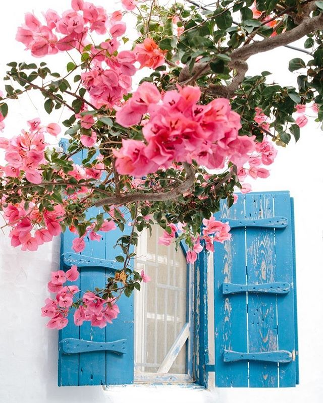 Bright pink flowers and blue windows