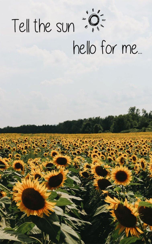 Dear Sunflowers! Tell the sun...hello for me