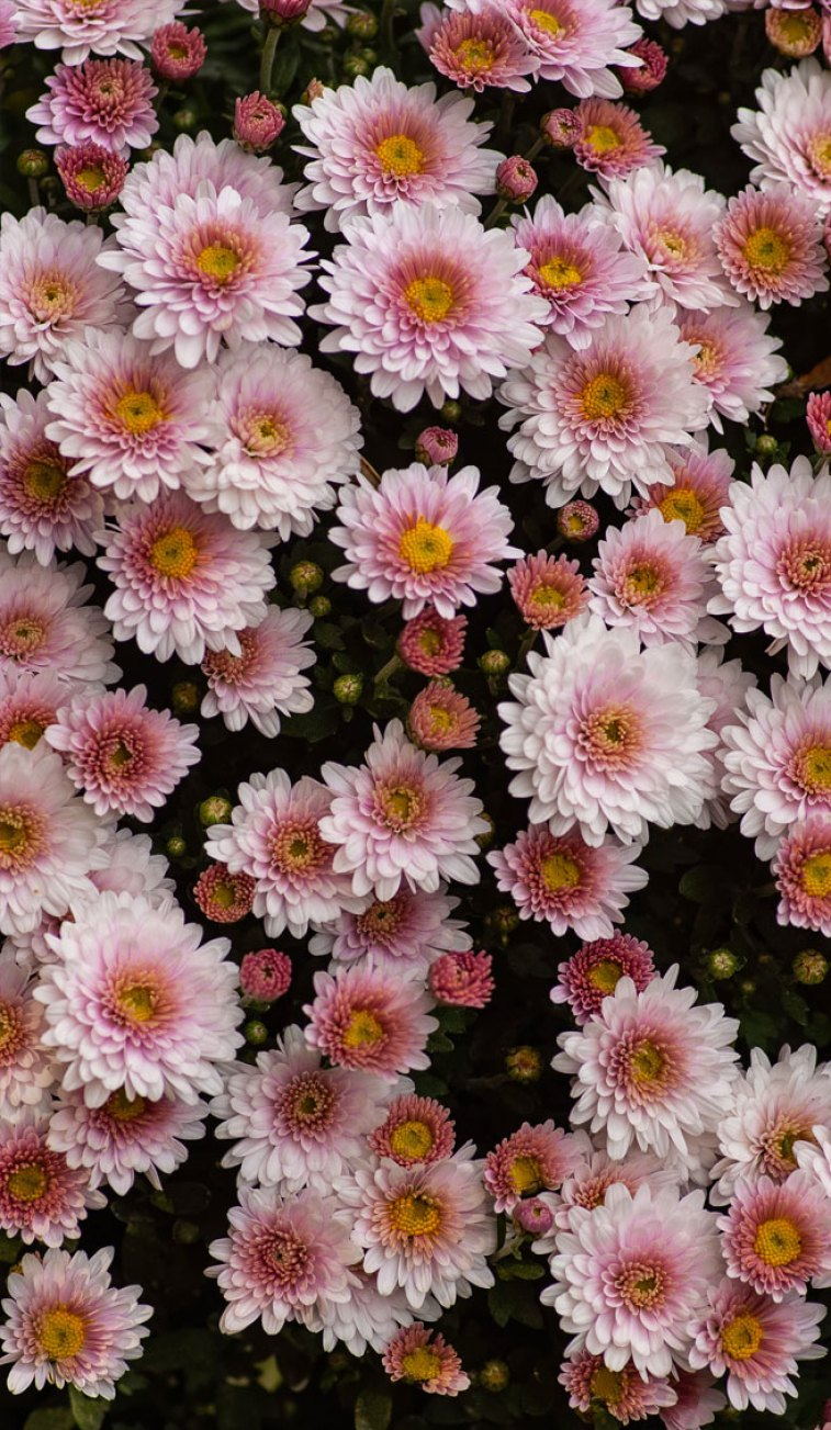 Daisies, wild flowers , summer wallpaper ,iphone wallpaper ,iphone background ,daisy ,wild flowers #flowers #wallpapers