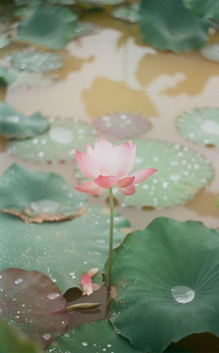 Light pink waterlily , lotus flower pictures, iphone wallpaper