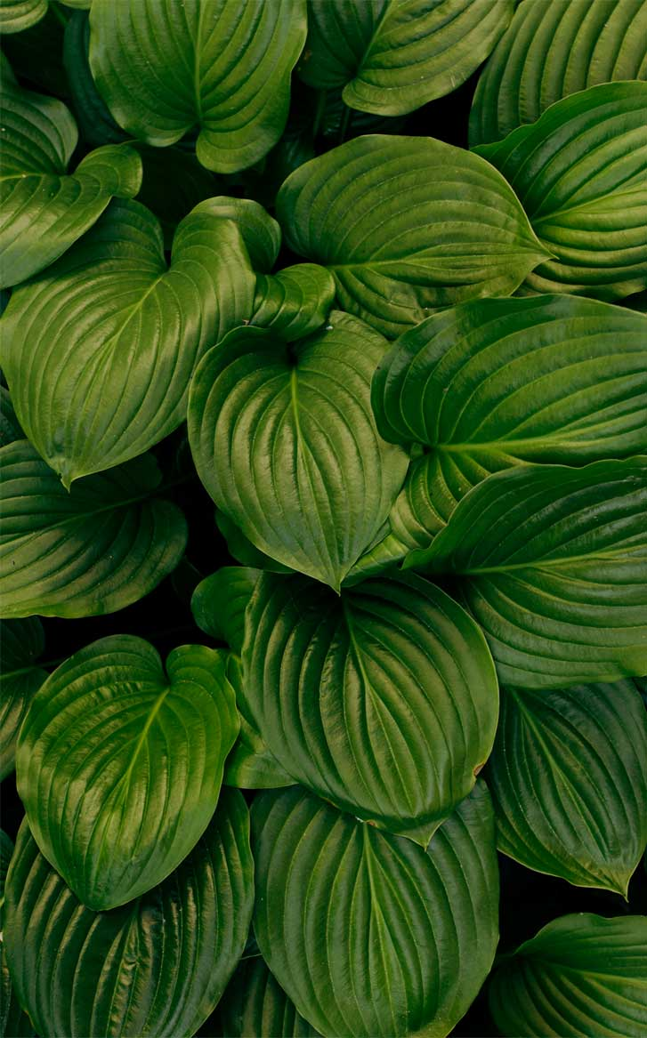 Eye pleasing leaf wallpaper tropical leaves, botanicals, leaf iPhone wallpaper. - Tropical Leaves, Botanicals, Leaf Phone Wallpaper - iphone background #wallpaper #background