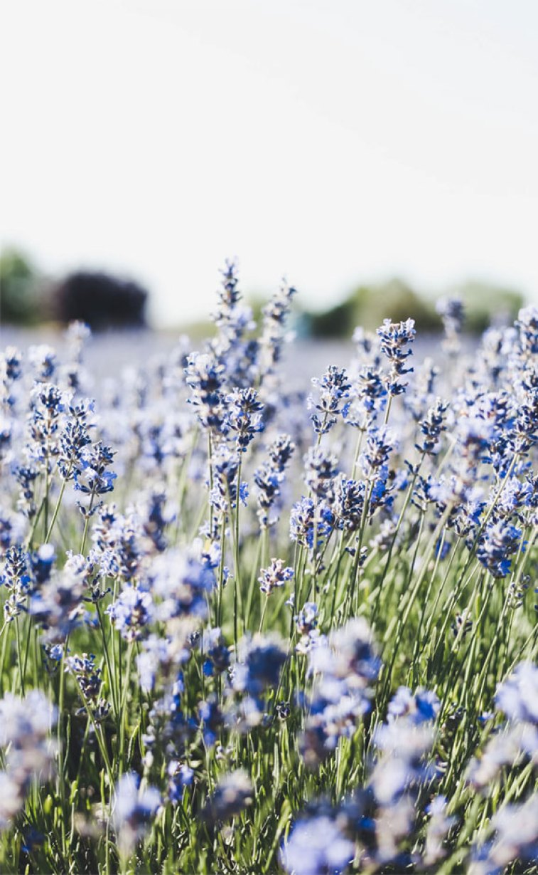 Lavender , field of lavender , summer