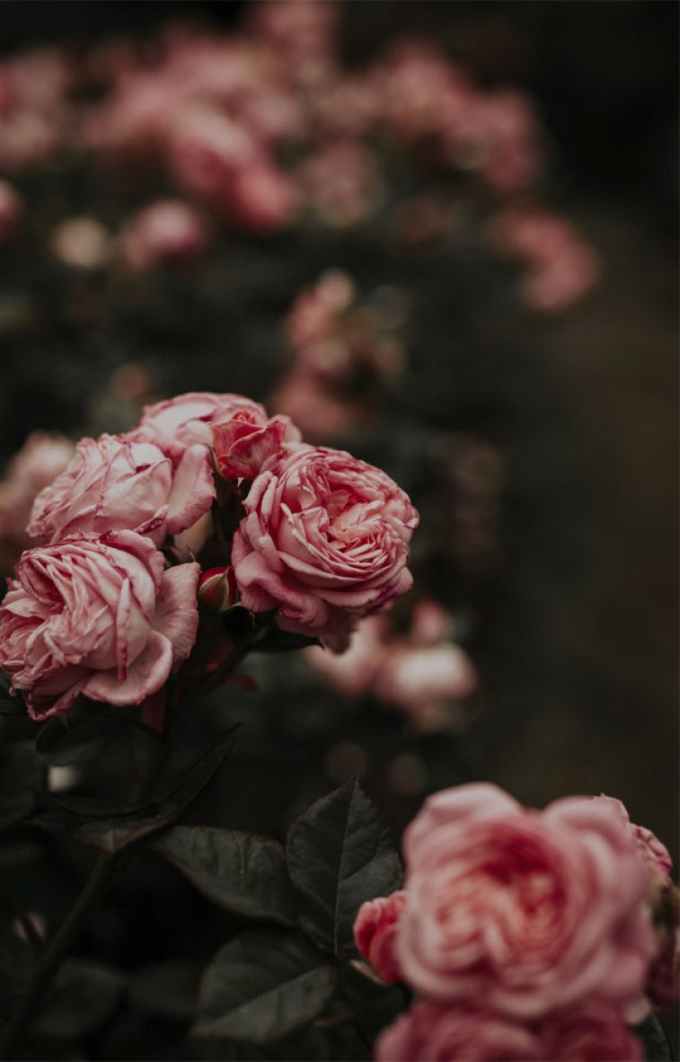 Pink roses  - pretty flowers #wallpaper #iphone
