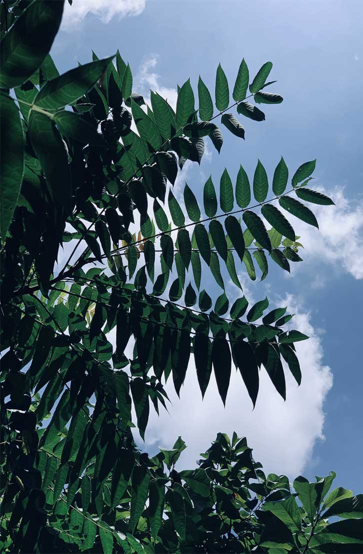 Bluesky and green leaves - very relaxing iphone background and please for eyes , botanicals, leaf iPhone wallpaper. - Tropical Leaves, Botanicals, Leaf Phone Wallpaper - iphone background #wallpaper #background