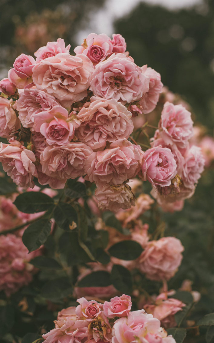 Pink Flowers #wallpaper #background