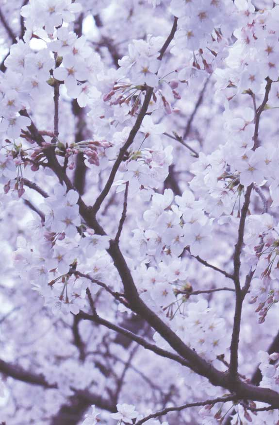 42 pretty blossom iphone wallpapers, iphone wallpapers, wallpaper iphone, blossom iphone wallpapers, flower iphone wallpapers #wallpapers #iphonewallpaper spring aesthetics, spring aesthetic, blossom, blossom aesthetic