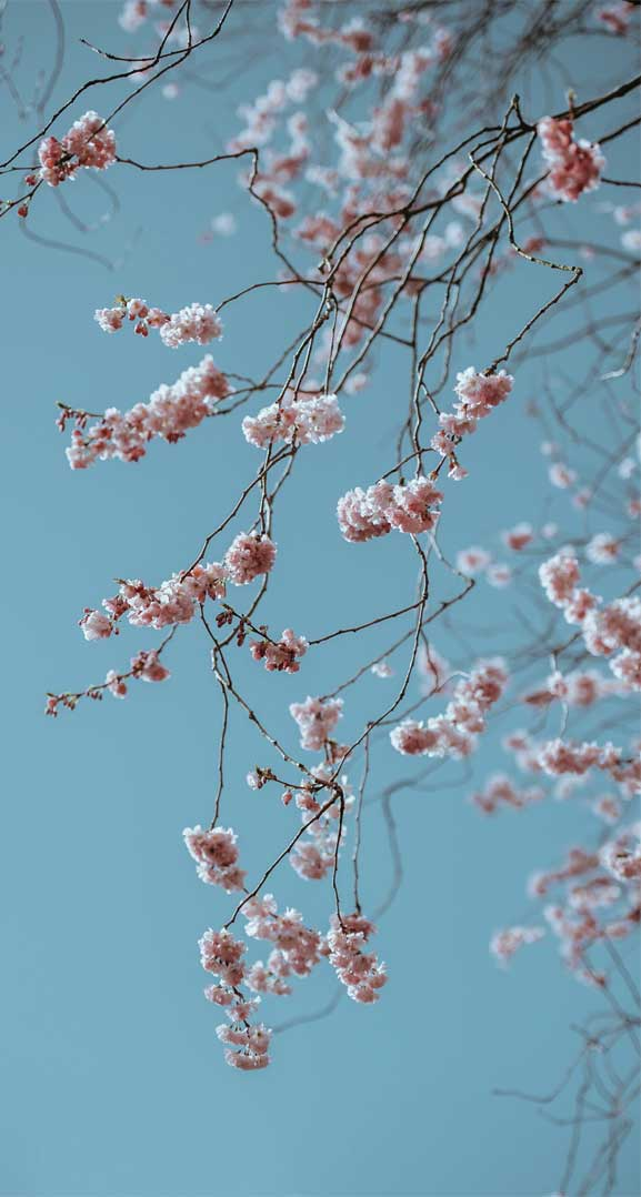 42 pretty blossom iphone wallpapers, iphone wallpapers, wallpaper iphone, blossom iphone wallpapers, flower iphone wallpapers #wallpapers #iphonewallpaper