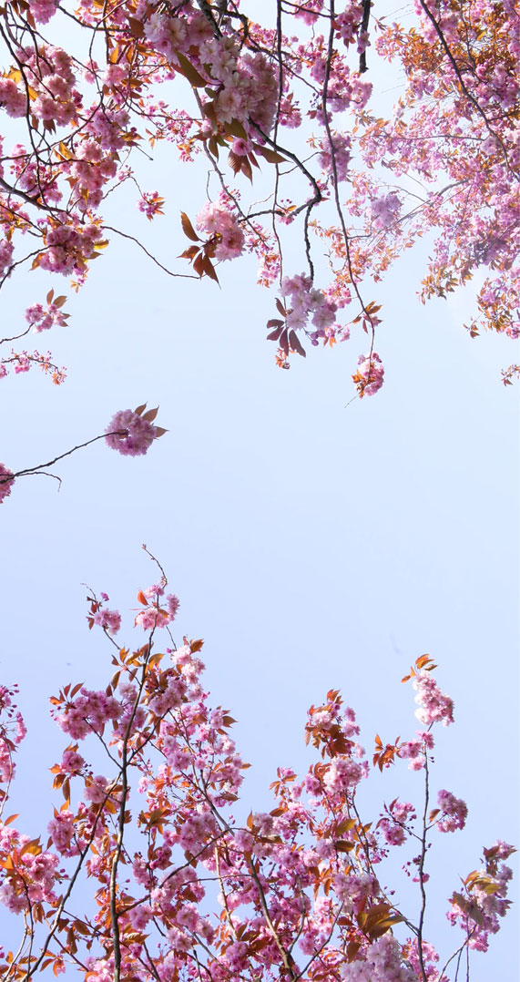 pretty blossom iphone wallpapers, iphone wallpapers, wallpaper iphone, blossom iphone wallpapers, flower iphone wallpapers #wallpapers #iphonewallpaper spring aesthetics, spring aesthetic, blossom, blossom aesthetic