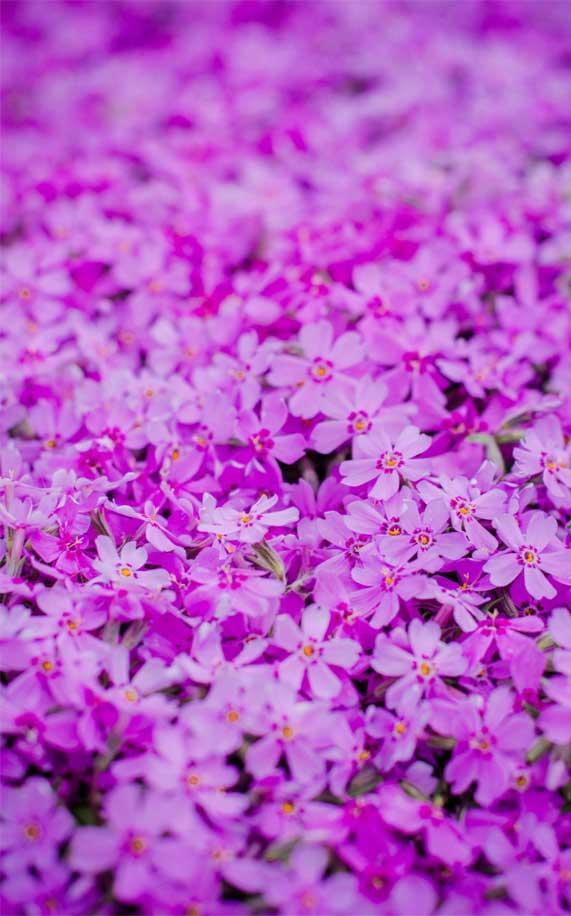 pink purple flowers, iphone wallpaper, purple petaled flowers