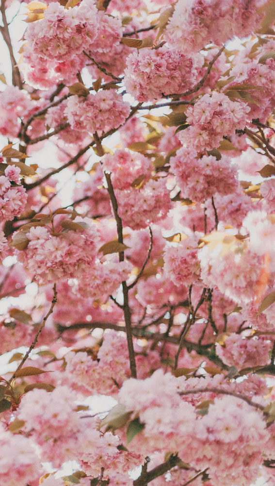 pink cherry blossom iphone wallpaper, blossom, cherry blossom, cherry blossom iphone background