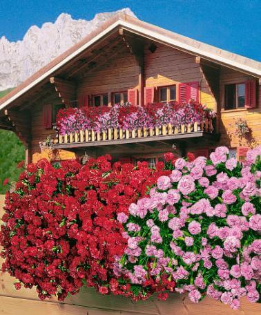 garoafe curgatoare pt gradini si terase
