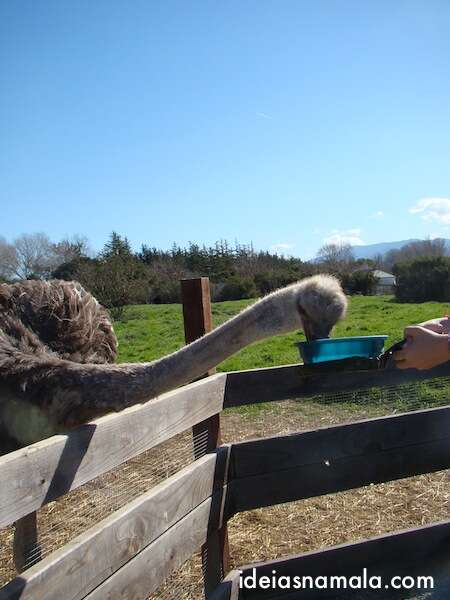 Alimentando avestruzes em Solvang