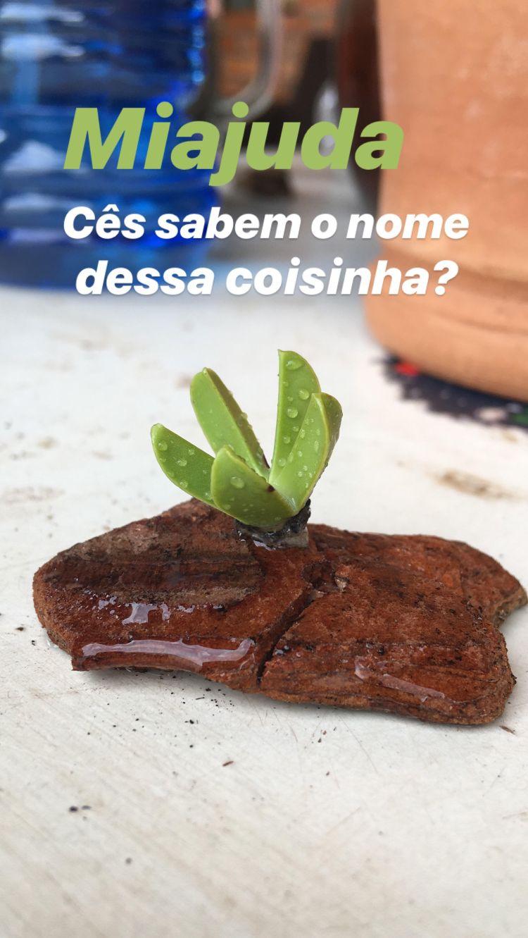 Alguma planta suculenta - Chorão da Praia (Carpobrotus edulis)