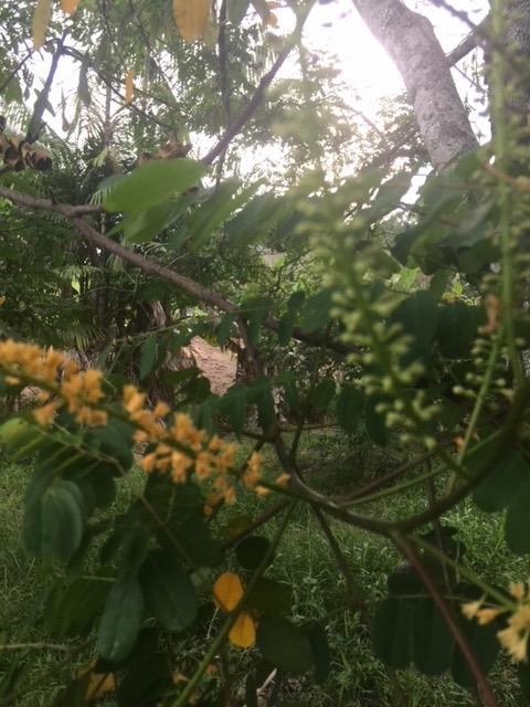 Arvore - Minas Gerais - Folhas Pequenas - Flores Amarelas