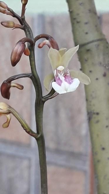 Orquídea Nativa - Mata Atlântica - Oeceoclades Maculata