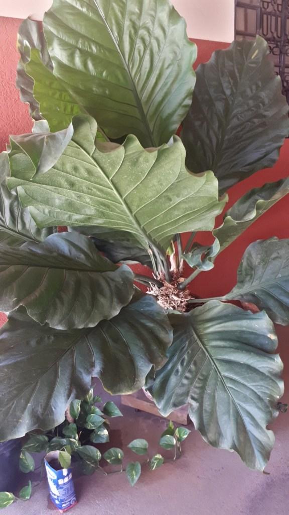 Alocasia Portora - Araceae