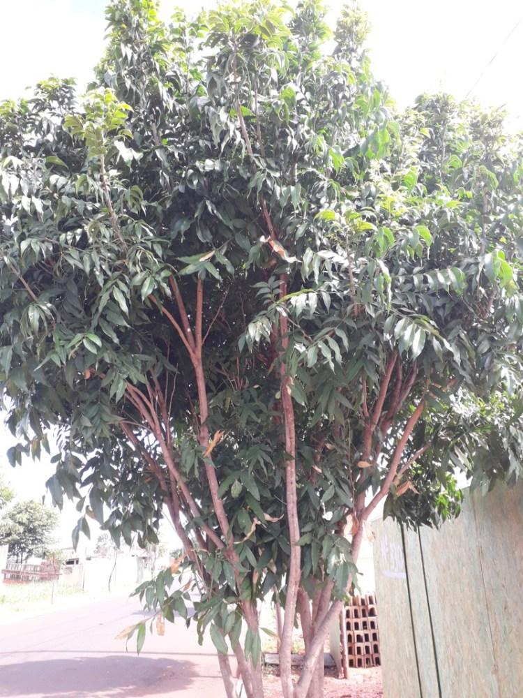 Arvore em Ribeirão Preto - SP