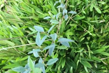 Macroptilium - Flores Vermelhas - Fabaceae