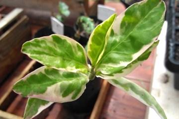 Pedilanthus tithymaloides variegata - Euphorbia tithymaloides