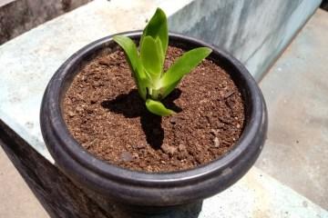 Planta Suculenta - Crassula Capitela Campfire - Crassulaceae