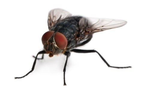 Photograph of a housefly showing the large compound eyes