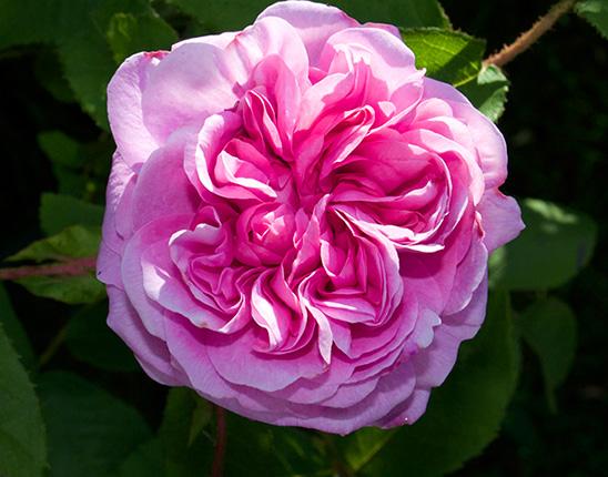 infuzie de trandafiri pentru viziune