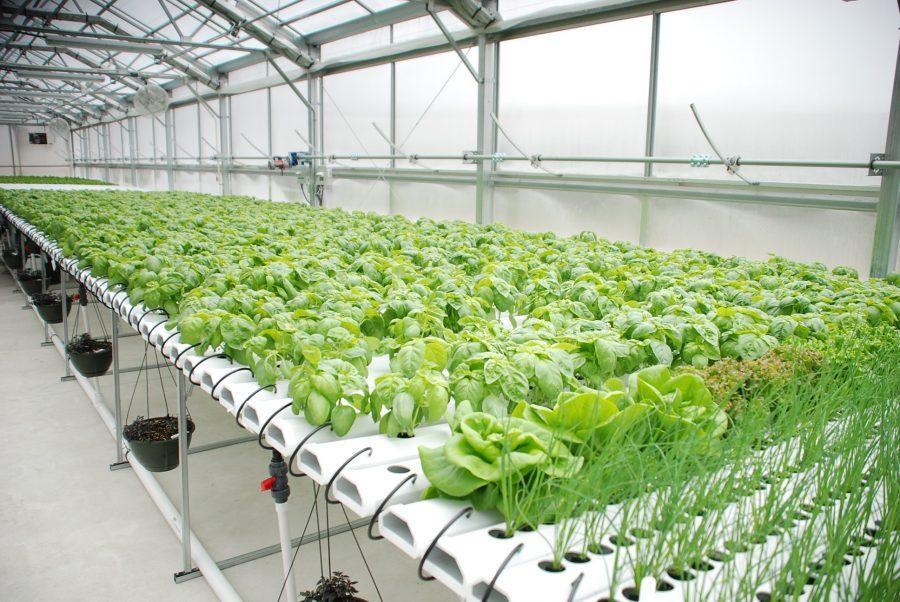 En Israël la culture hydroponique, une technologie pour cultiver les salades au désert et dans la ville