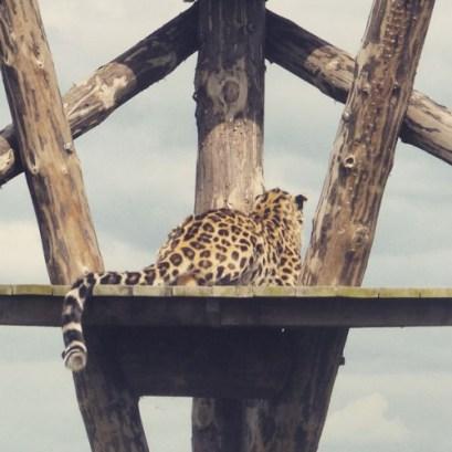 amur_leopard-500x500