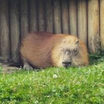 capybara-300x300