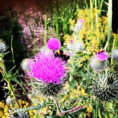 Some sort of bumble bee on thistle
