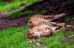 CheetahsBlog