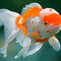 Mutia Yudharia, Menangkap Peluang Bisnis Ikan Mas Koki Oranda ~ Ekspor Sampai Mancanegara