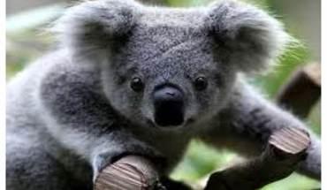koala (700 x 531)