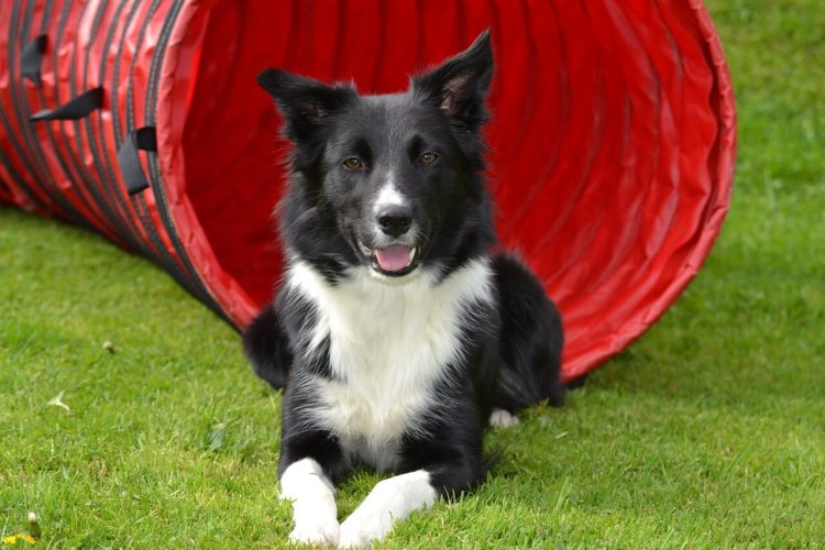 Border-Collie-healthiest-dog-breeds
