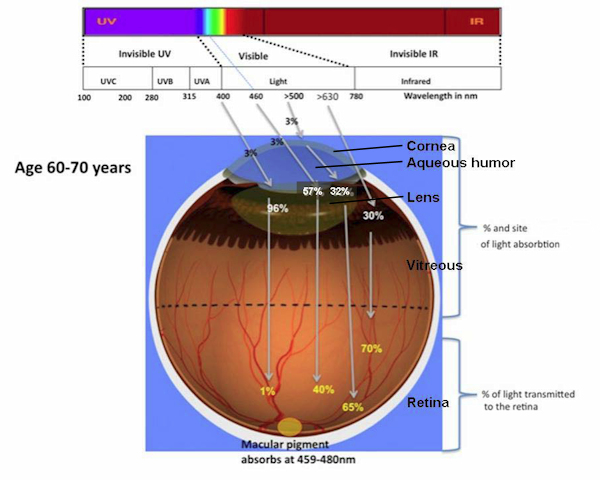 UV + visible light absorption within an eye of 60 -70 years adult